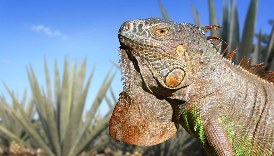 An iguana sits near an agave plant.