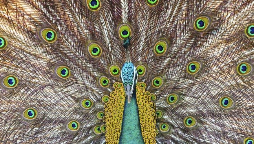 → Diferencias visuales entre los pavo reales machos y hembras ...