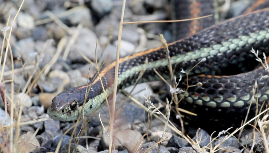 Garter snakes are one of the most common snakes in Oklahoma.