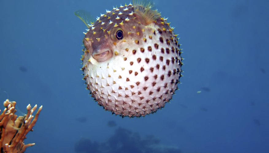 Yellow spotted burrfish.