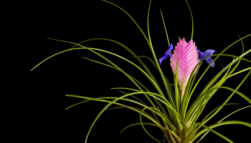 Pink quill's purple flowers grow from its pink bracts.