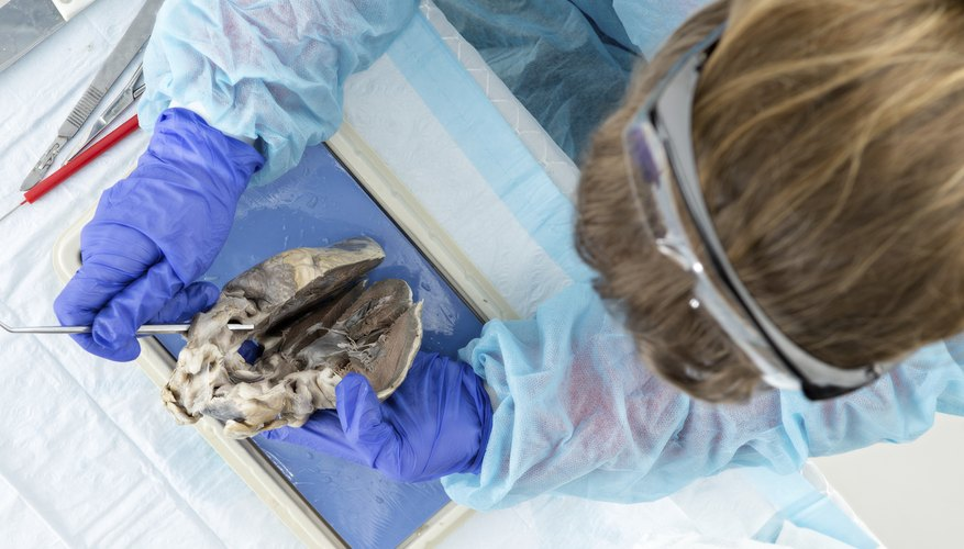 A biologist examines an anatomy sample.