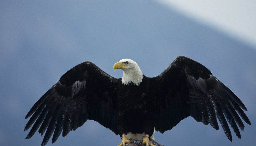 A bald eagle uses its wide, slotted wings for gliding and soaring.