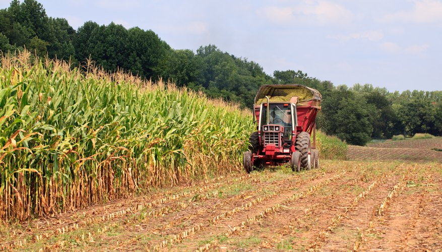 Rows of corn ready for harvest
