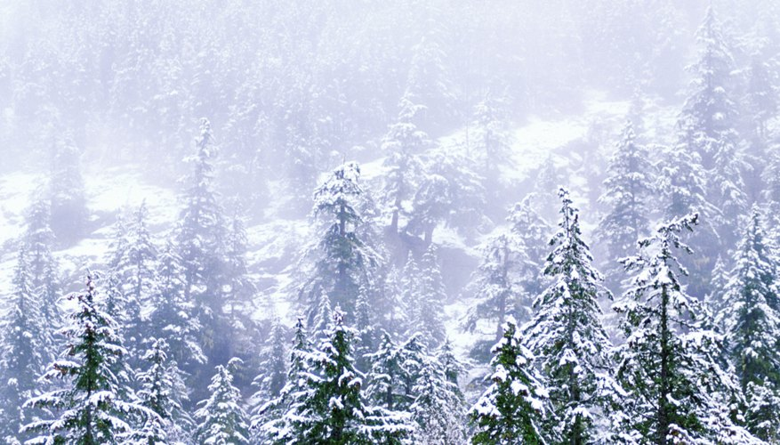 Snow covered pine forest, Canada