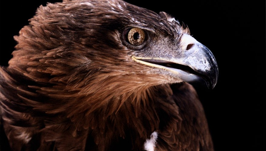 Eagles have excellent eyesight for spotting prey.