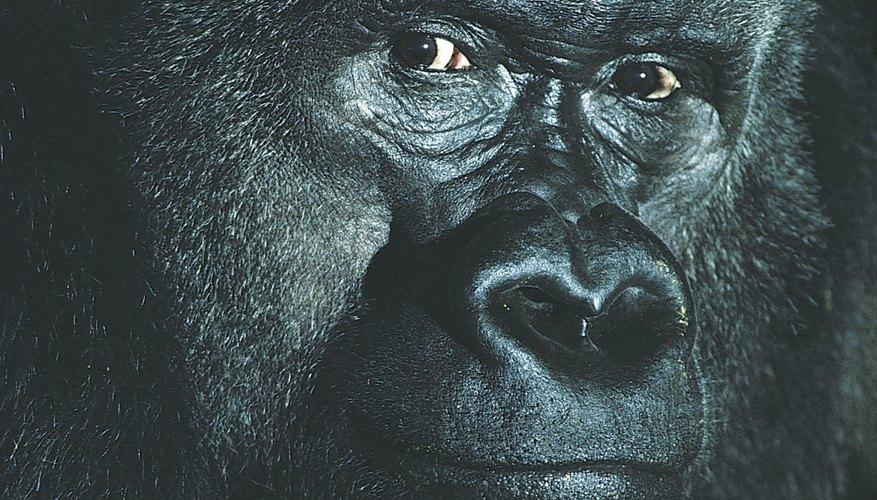 Las máscaras de gorila sientan la onda de la fiesta.
