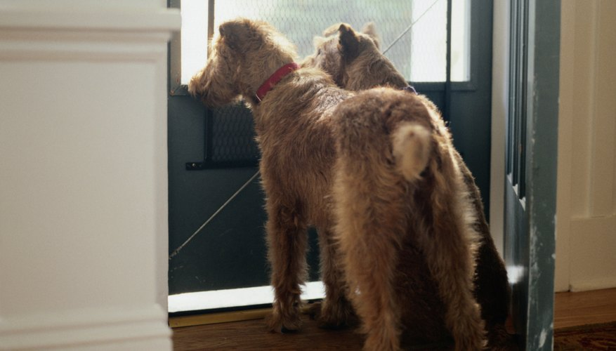 Two Irish Terriers Looking out Front Door