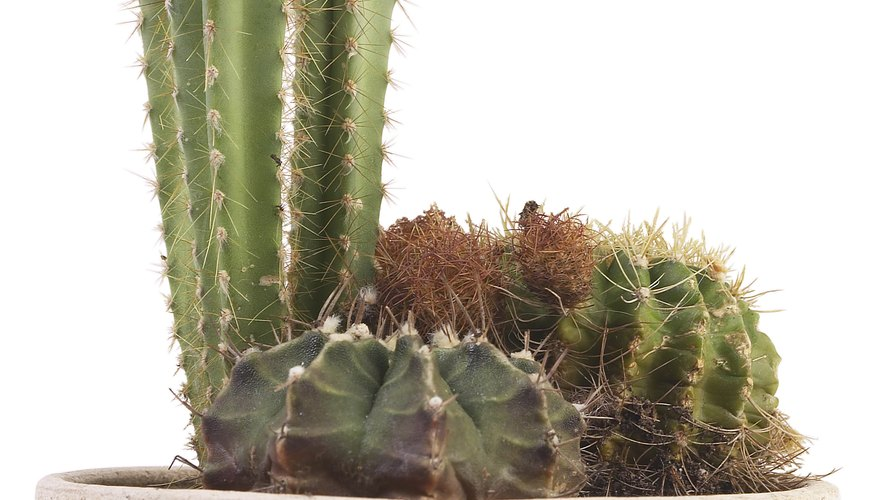 Cacti are versatile plants used for indoor pots or landscaping.