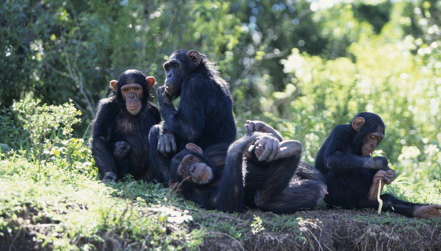 viri essay chimps and humans the purpose of this essay is to show the similarity and differences between humans and chimpanzees they are our closest living relatives, when we didn't even.
