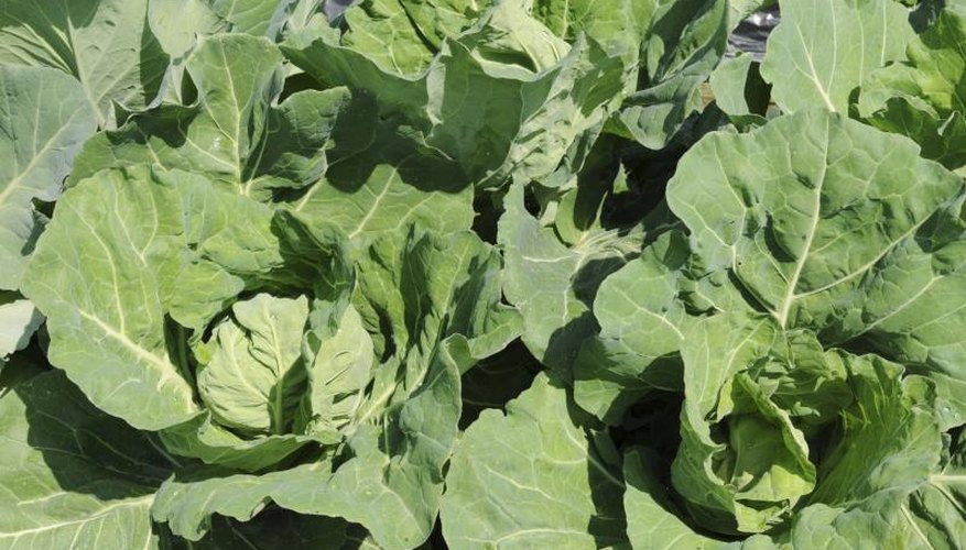 Protect cabbage by growing other plants that attract the same pests.
