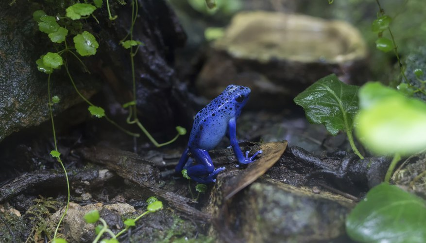 A blue poison dart frog on the forest floor.
