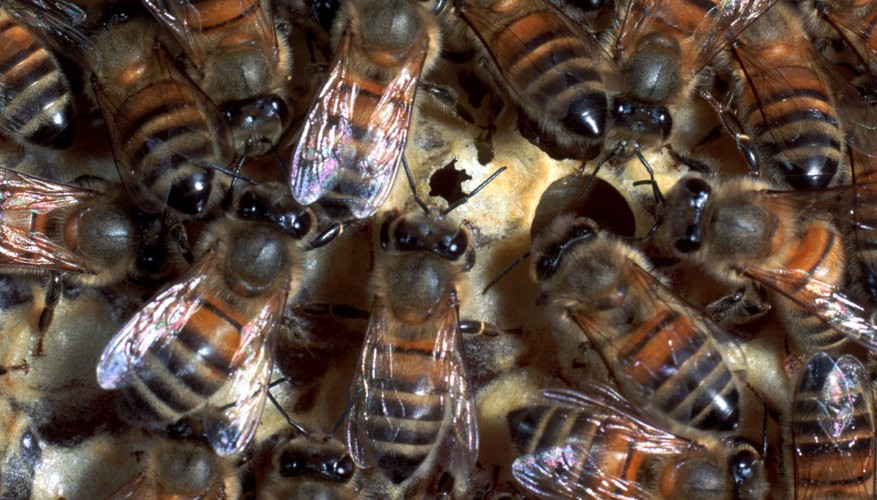 The swarm surrounds the queen and keeps her safe while drone bees fly out in search of the ideal home.