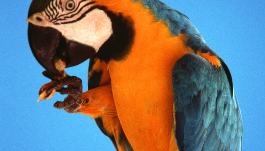 During Bora ceremonies, both men and women wear skirts and animal-tooth necklaces with plumed headdresses made from macaw feathers.