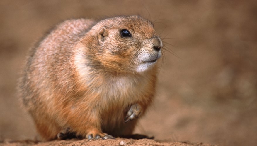 A close-up of a prairie dog.