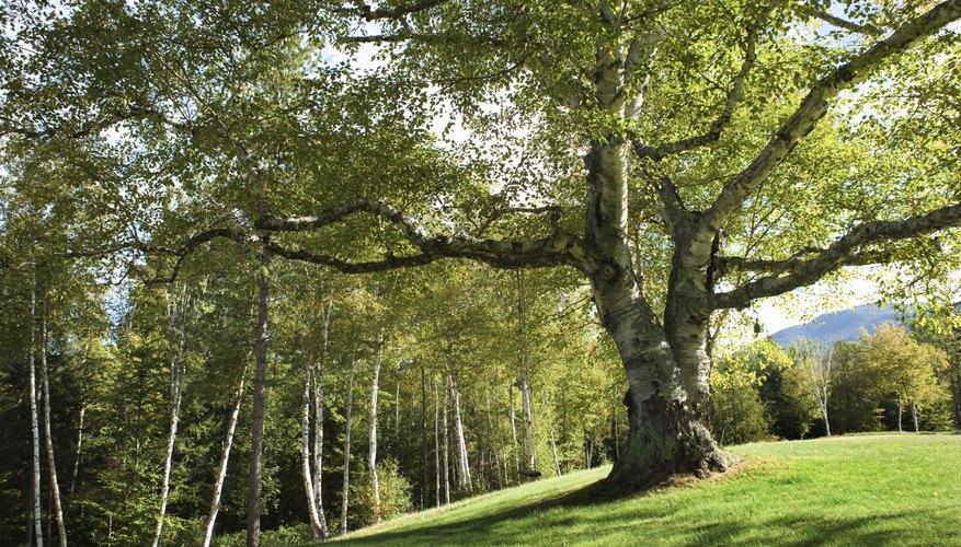 Encuentra un tronco hueco de madera blanda.