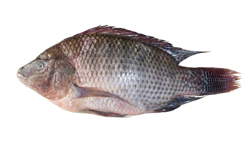 The market weight for pond-raised tilapia averages about a pound or more.