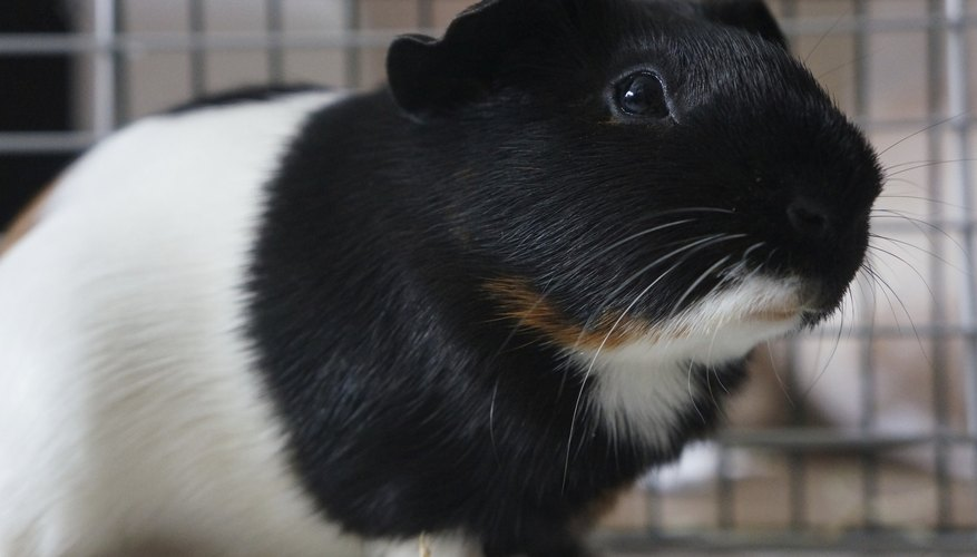 Close-up of guinea pig in cage