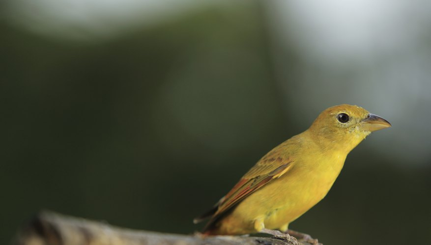 yellow summer tanager