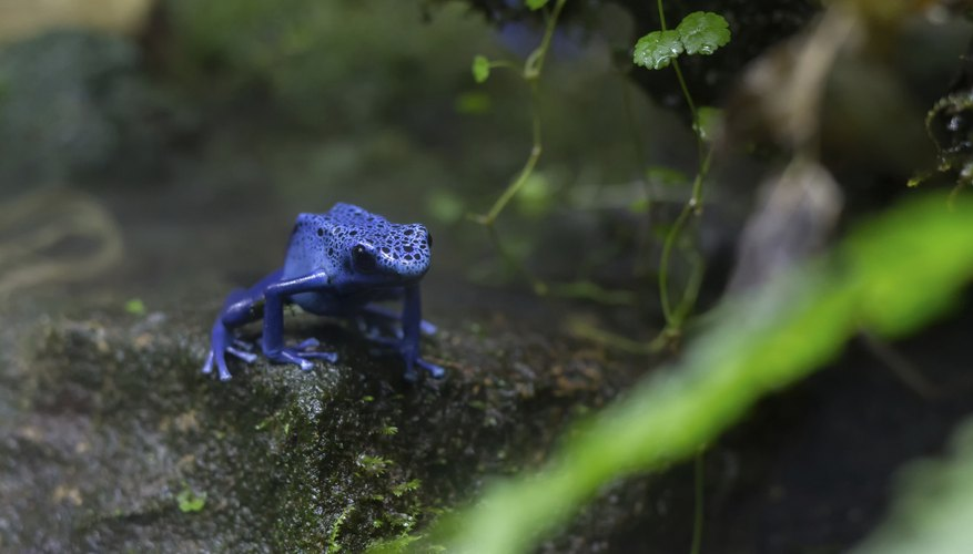 A blue poison dart frog walking in the ground in a tropical forest.