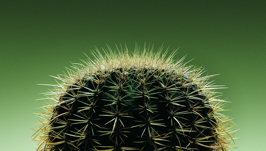 A barrel cactus' ribs become more noticeable as the plant matures.