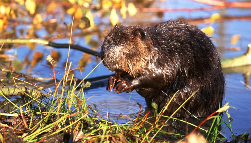 A beaver gnaws on a piece of vegetation.