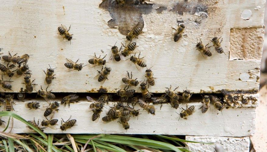 Puedes escuchar un sonido de zumbido distintivo que viene de una colonia de abejas.