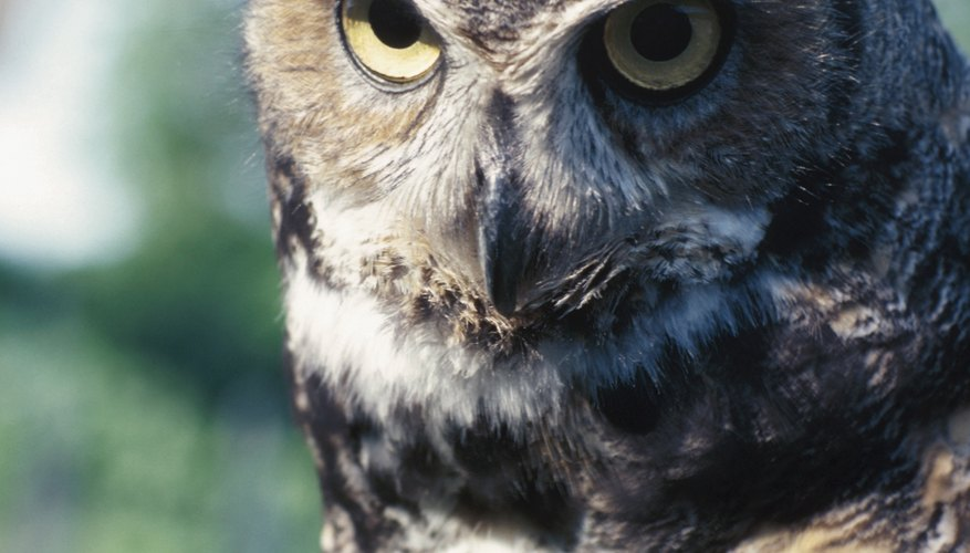 Mated great horned owls work together at raising young.