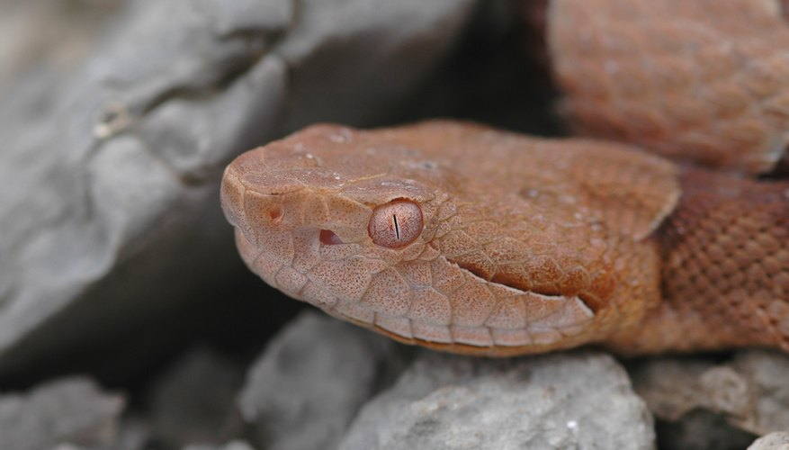 The venomous copperhead reaches its western limit in Oklahoma.