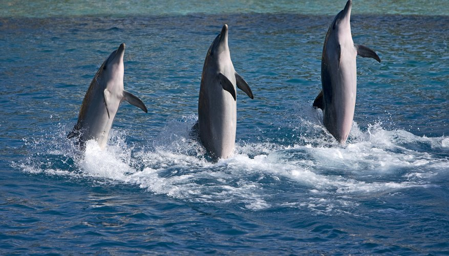 Three Dolphins in a show