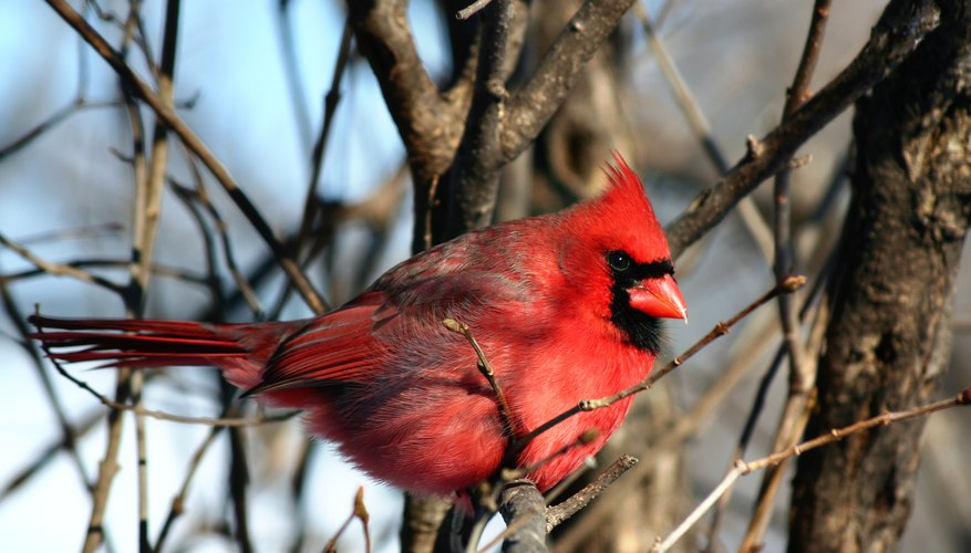 A male red cardinal sits on the branch of a bush in winter.