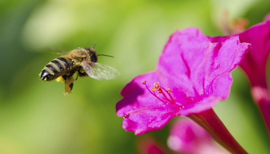 Bee flying beside bright pink flower.
