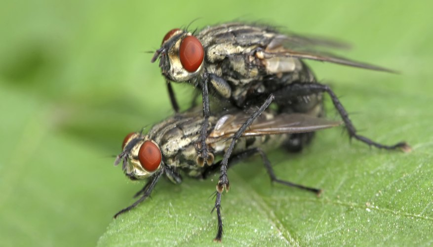 Two flies mate on a leaf.