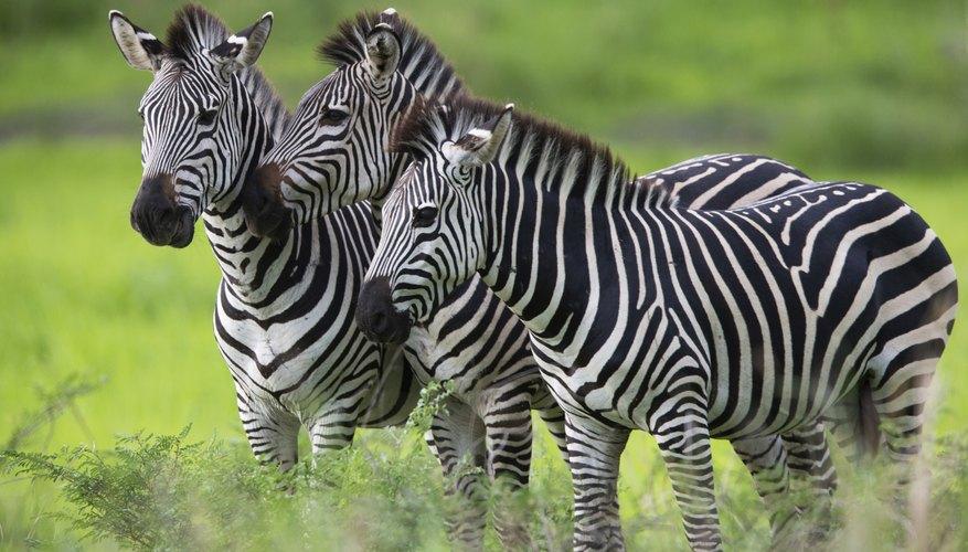 three zebras in grass