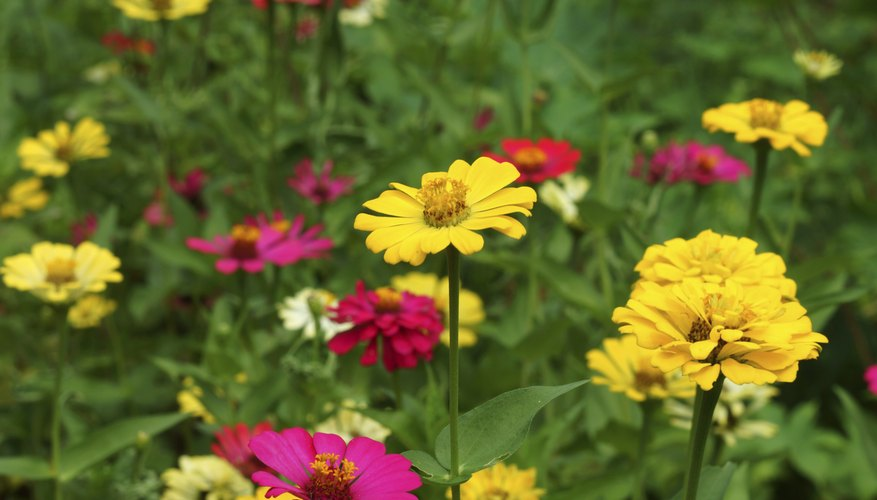 Colorful zinnias in flower field