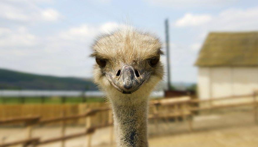 Ostrich glance