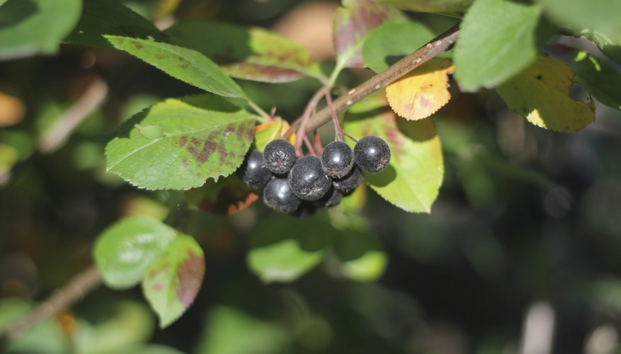 Boiling or drying chokecherry fruits neutralizes their toxic chemicals.