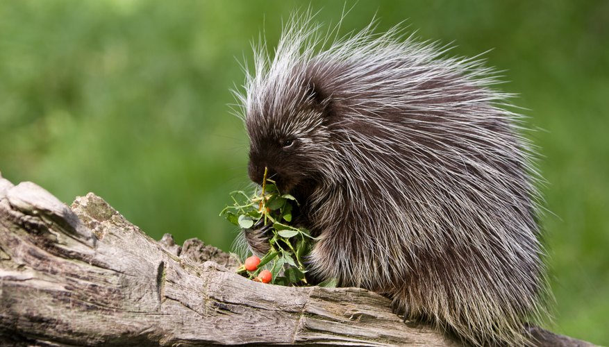 Porcupine eating berries