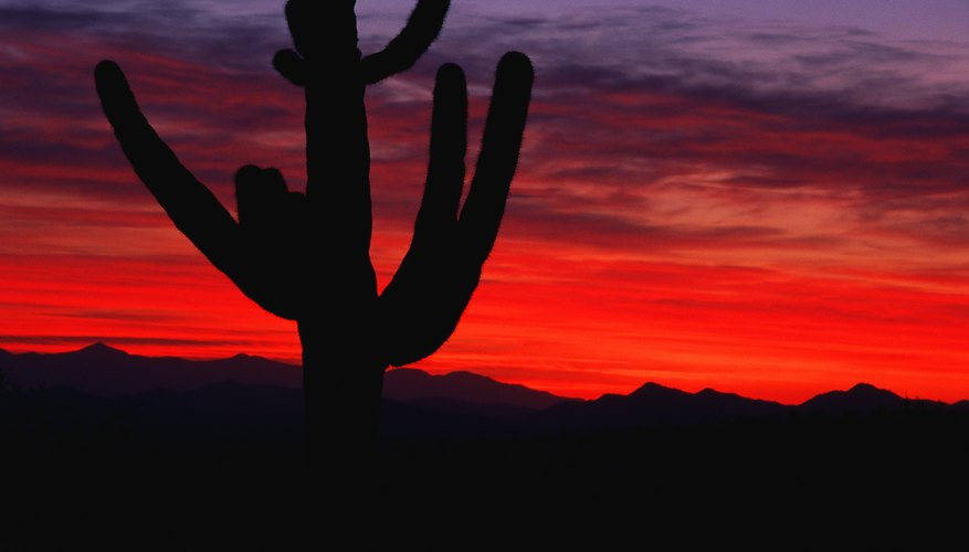 The Saguaro cactus is a tree-like cactus that can grow up to 40-feet tall in the Sonora Desert.