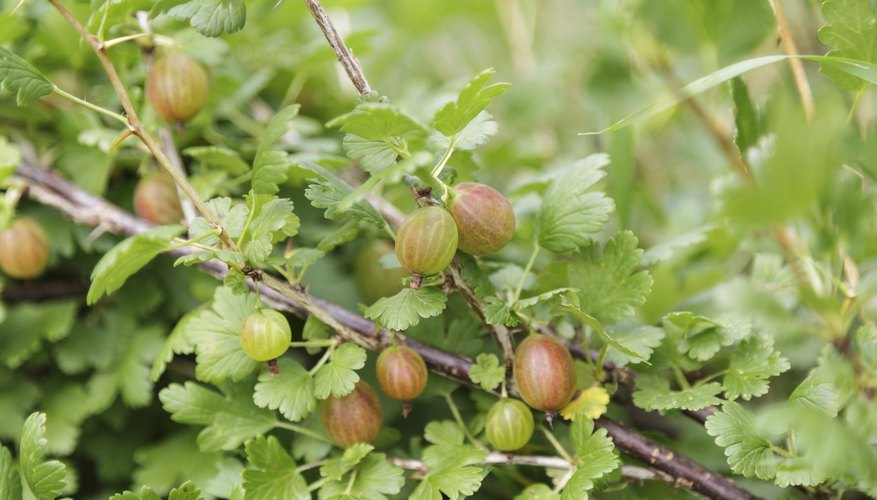 Pruning opens out gooseberry clumps, allowing sunlight in to ripen berries.