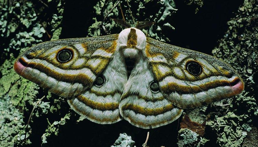Existen alrededor de 160.000 especies de polillas.