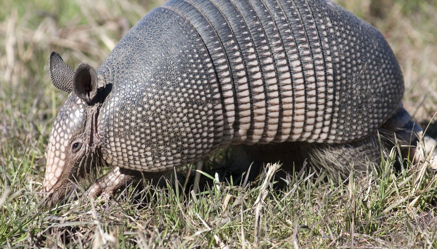 how to keep armadillos from digging in yard