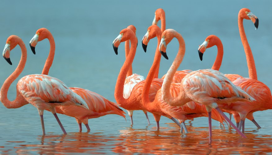 a flock of pink flamingoes