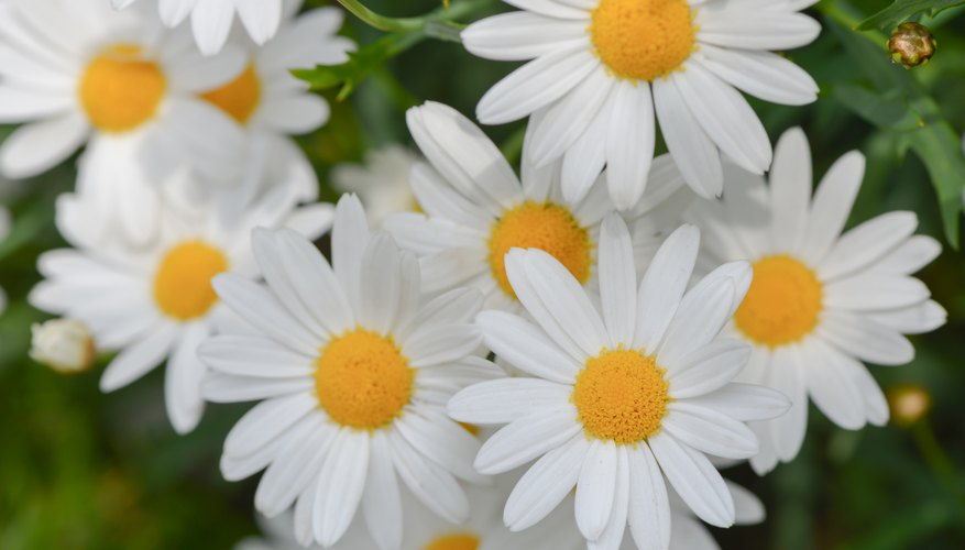 A close-up of white Shasta daisies with yellow centers.