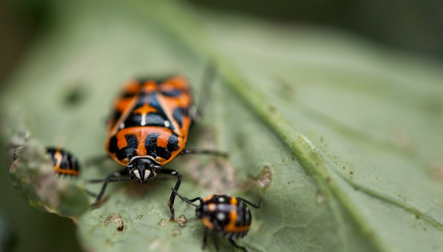 Harlequin bugs cause damage as nymphs and adults.