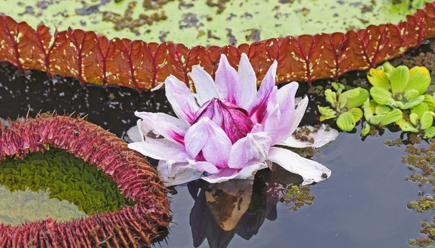 A water lily in the Peruvian Amazon Basin.