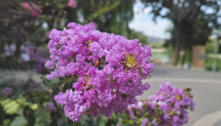 Close-up of blooming crape myrtle flowers
