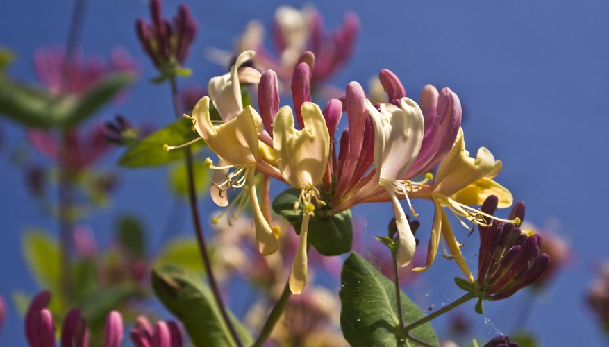 Vines like evergreen honeysuckle offer foliage, fragrance and flowers.