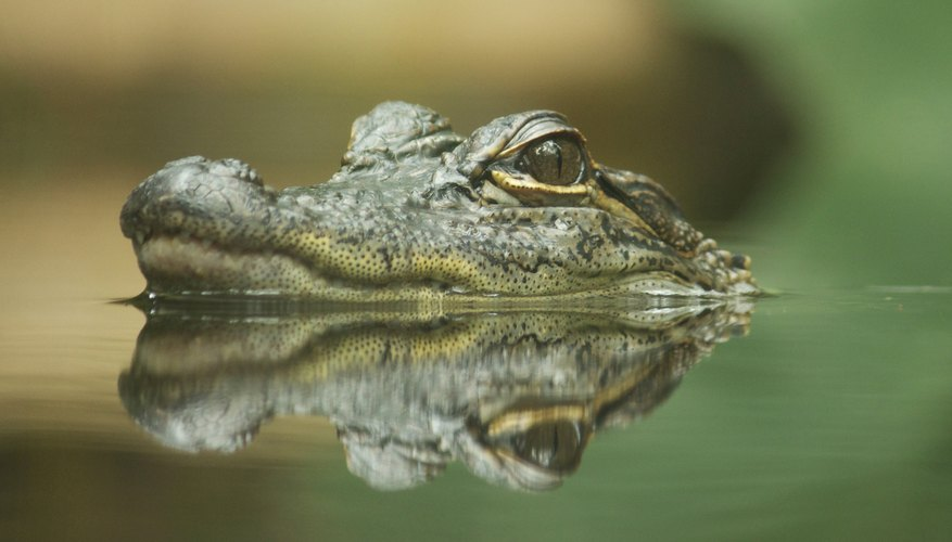 crocodile eyes peeking out of water