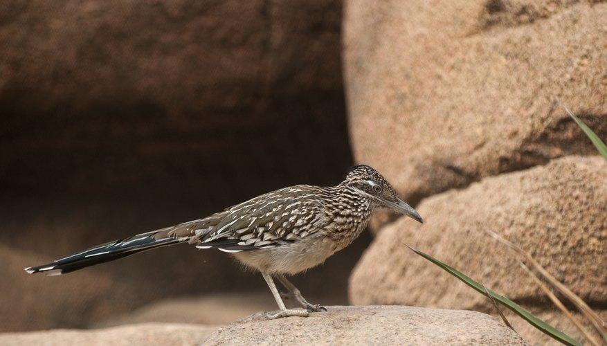 the roadrunner can travel at high speeds